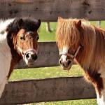 Ponys für Website
